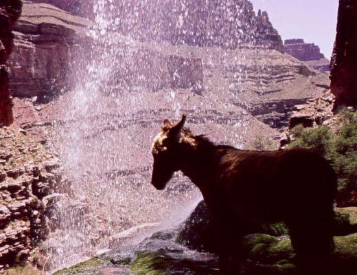 Brighty - osiołek z Wielkiego Kanionu
